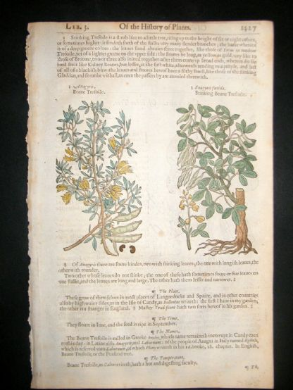 Gerards Herbal 1633 Hand Col Botanical Print. Bean Trefoil, Judas Tree | Albion Prints